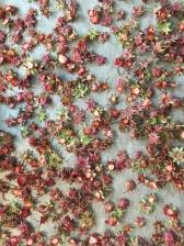 Mansikat kuivumassa